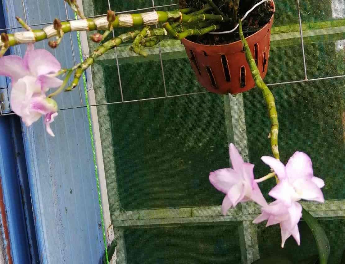 Dendrobium moniliforme Sekkoku en japonais, 200331092937112705