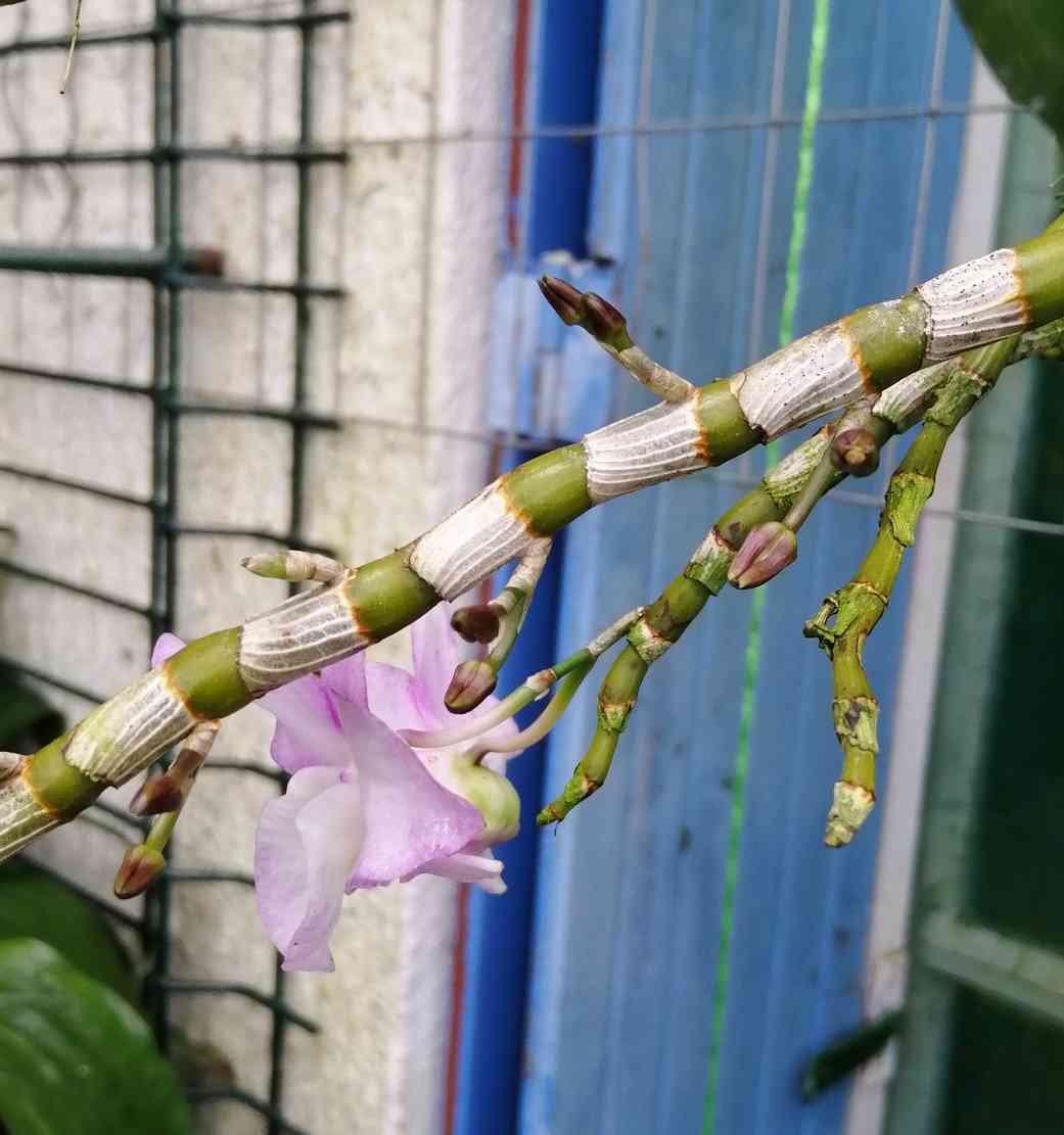 Dendrobium moniliforme Sekkoku en japonais, 200331092937373883