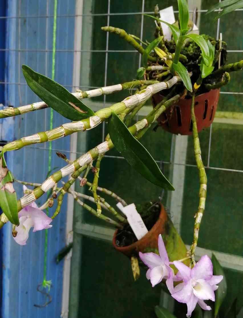 Dendrobium moniliforme Sekkoku en japonais, 200331092937632134