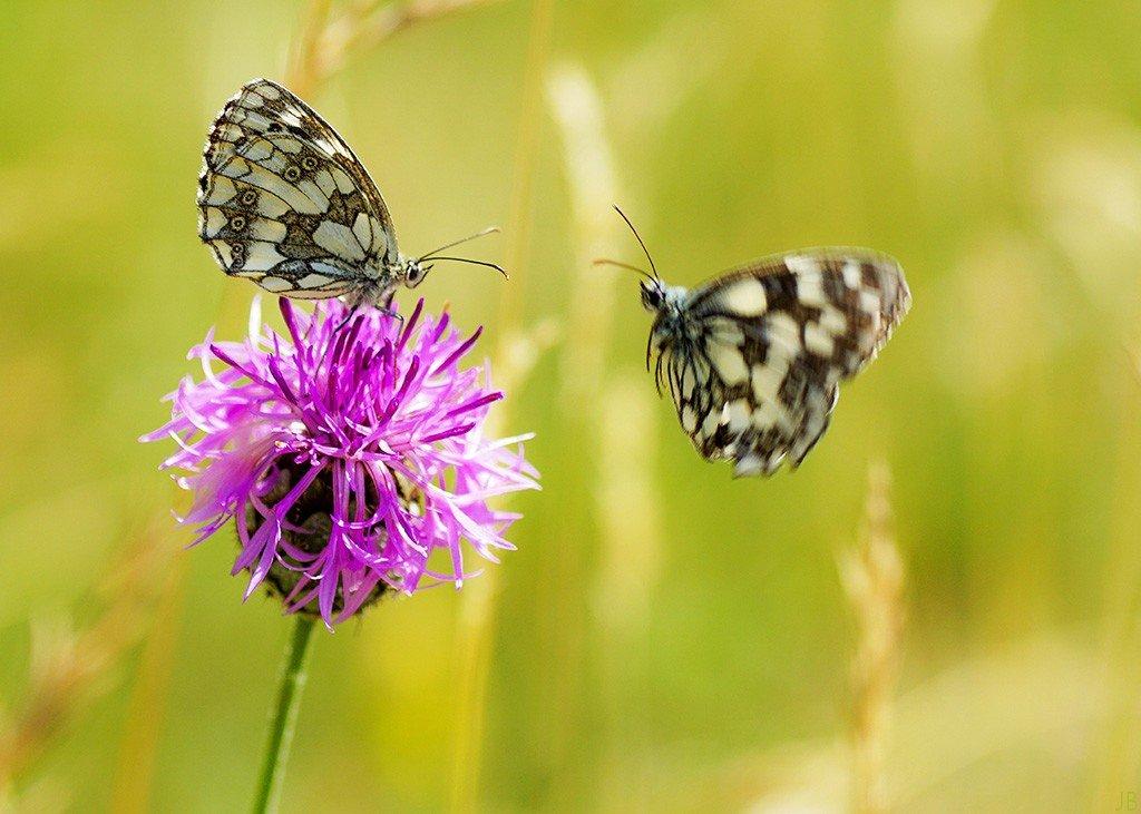 L'argus et autres papillons  mise a jour du 6.06.2021 ( camaroney ) - Page 15 200412101150360875