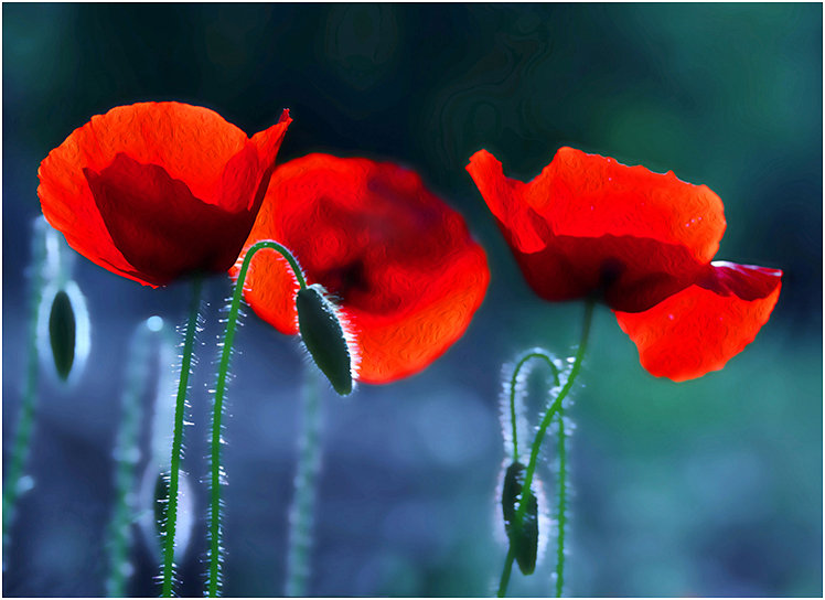 Fresh poppies, 2020 200430015353658974