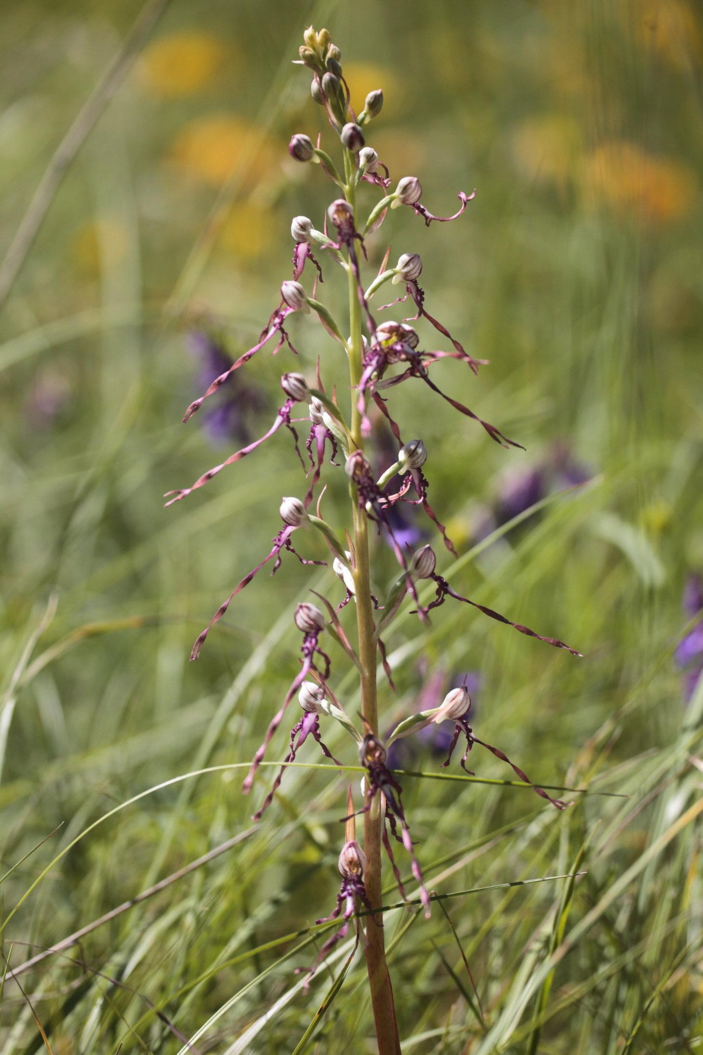 Himantoglossum idriaticum 1