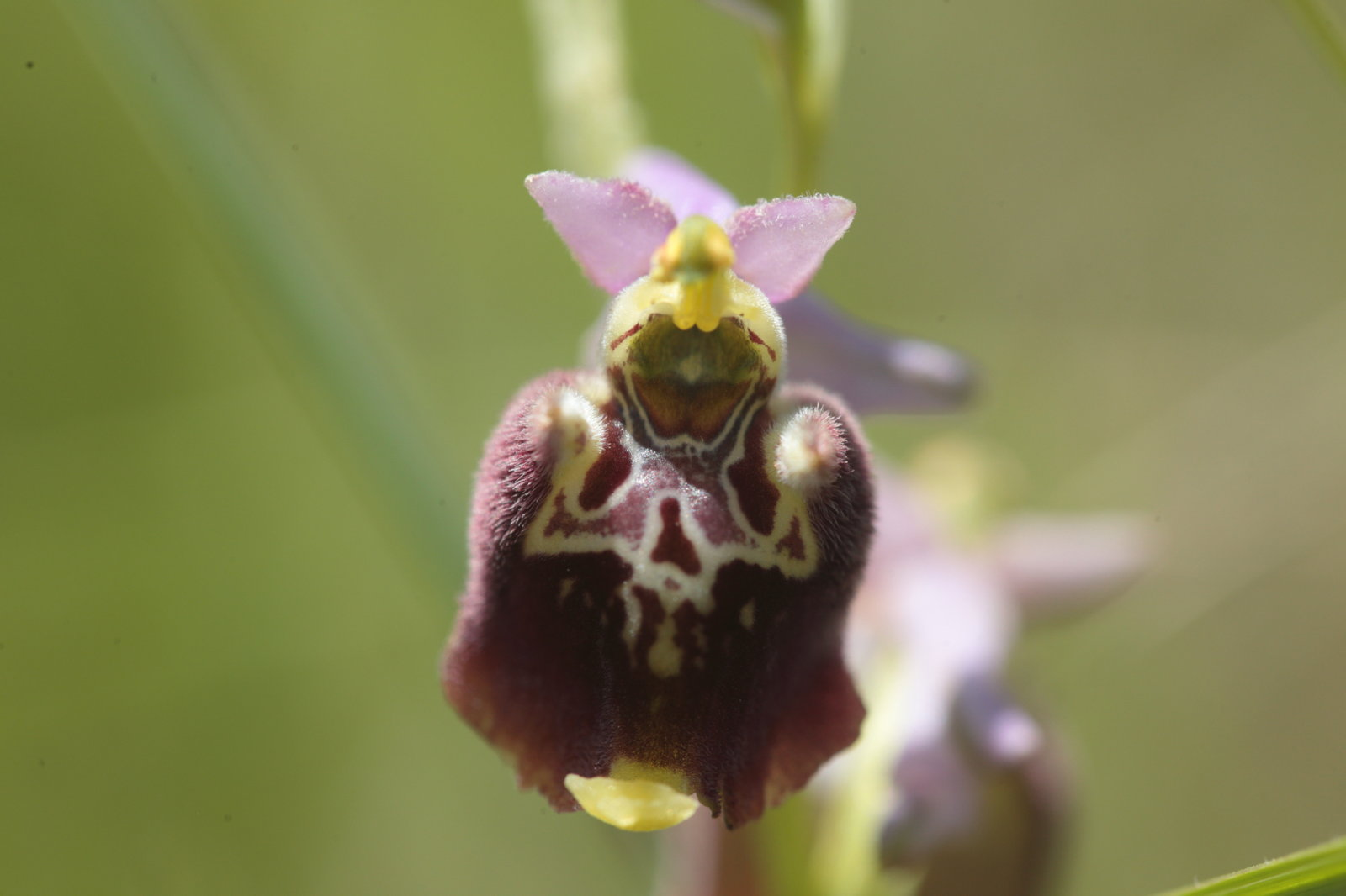 Ophrys fuciflora 3