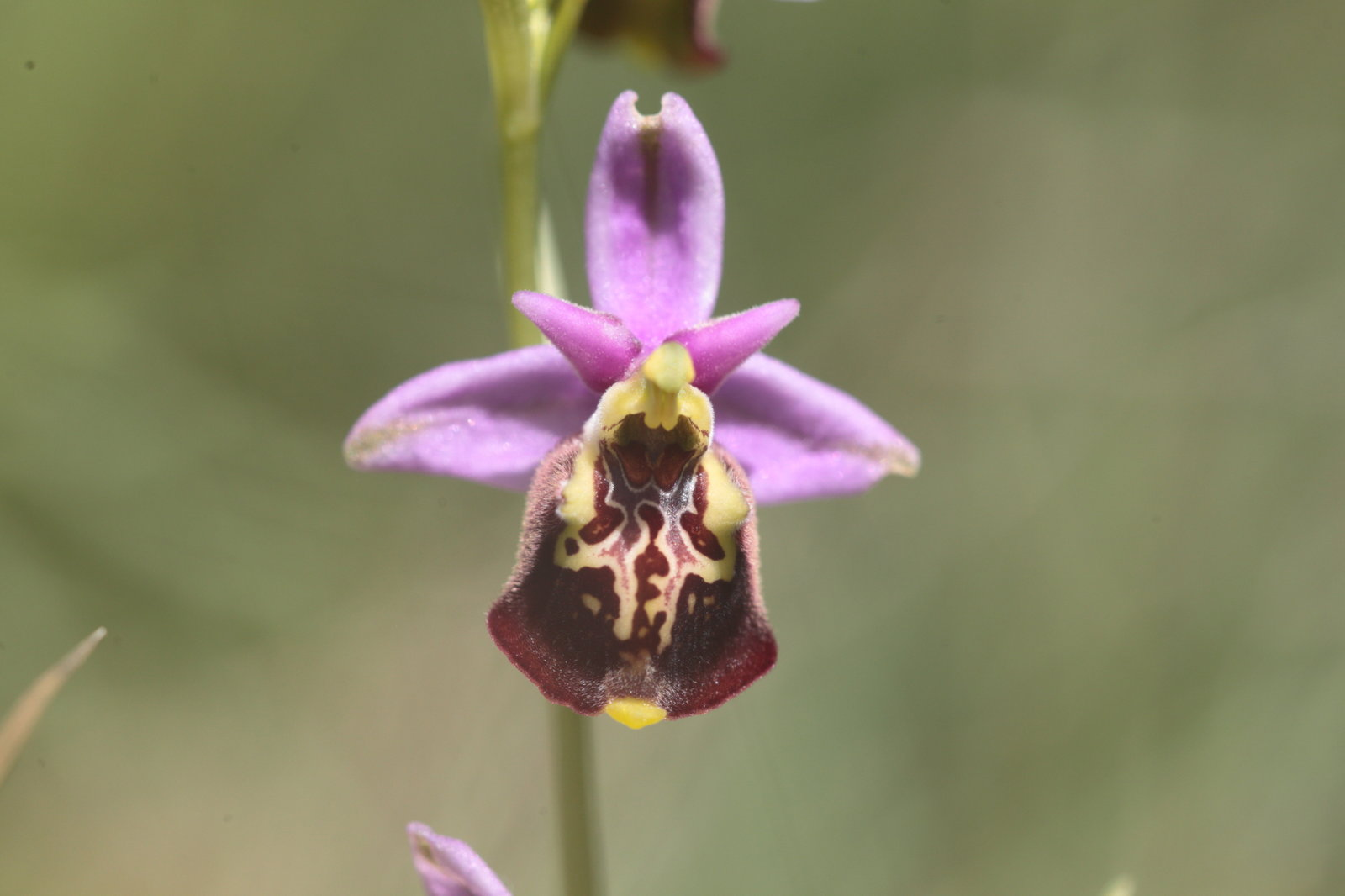 Ophrys fuciflora 13