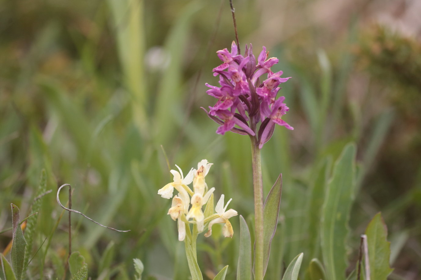 Orchis sambucina 3