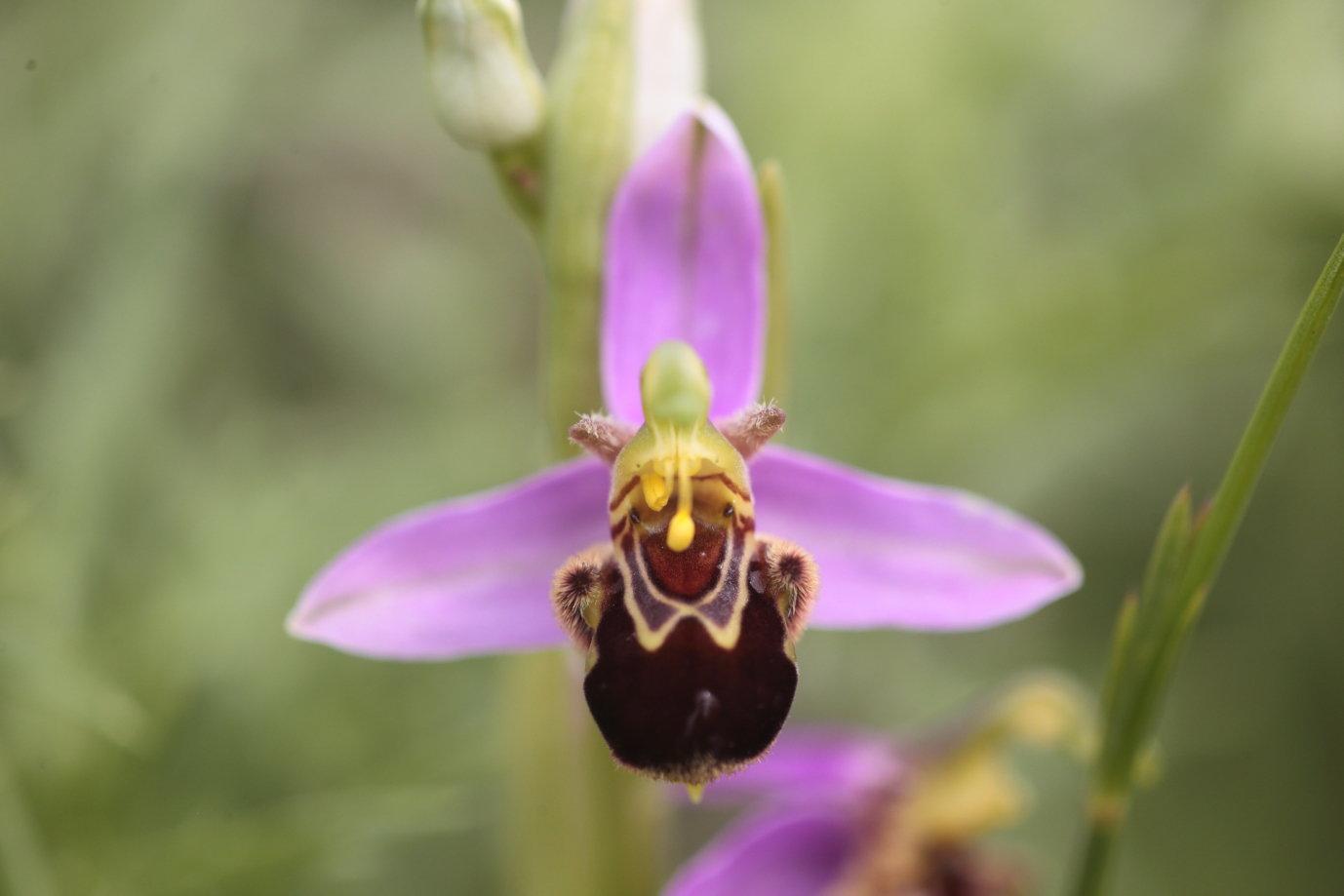 Ophrys apifera 1