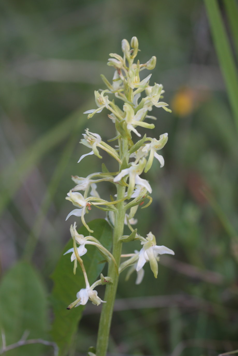 Plantanthera chlorantha