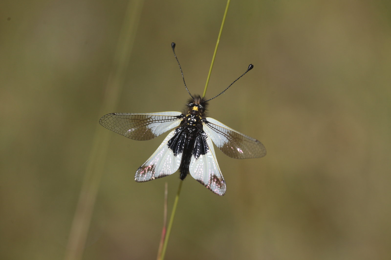 Libelloides lacteus L Ascalaphe blanc 4