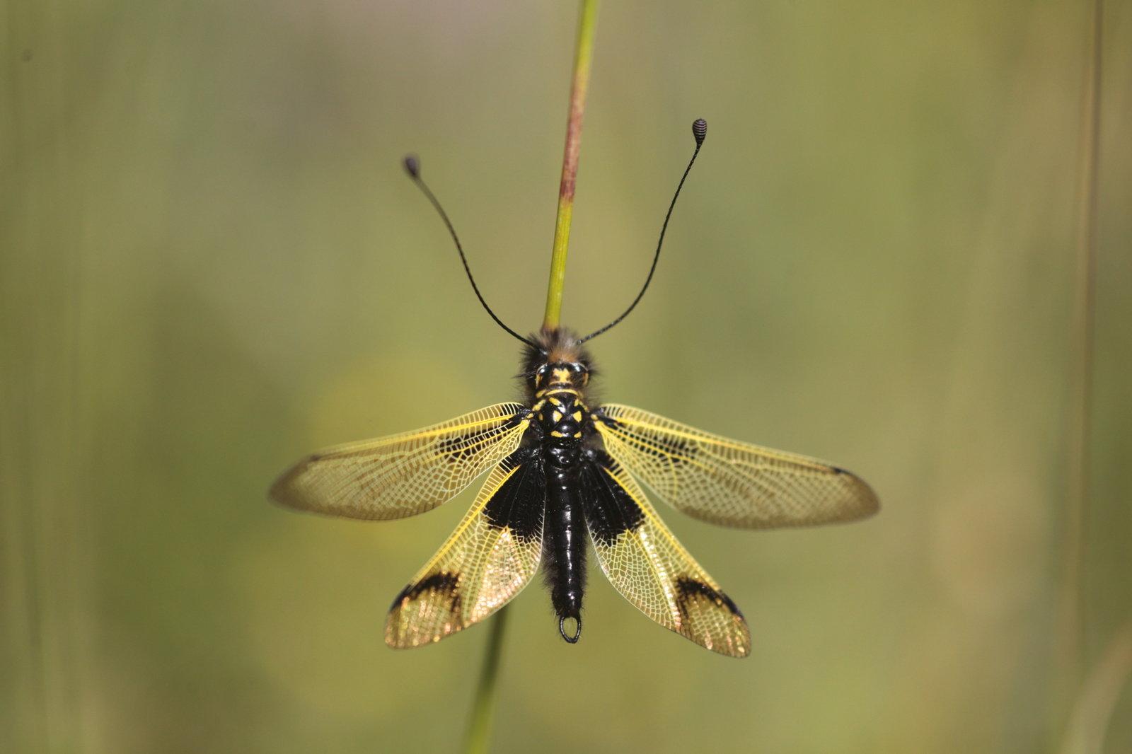 Libelloides longicornis L Ascalaphe ambré 2