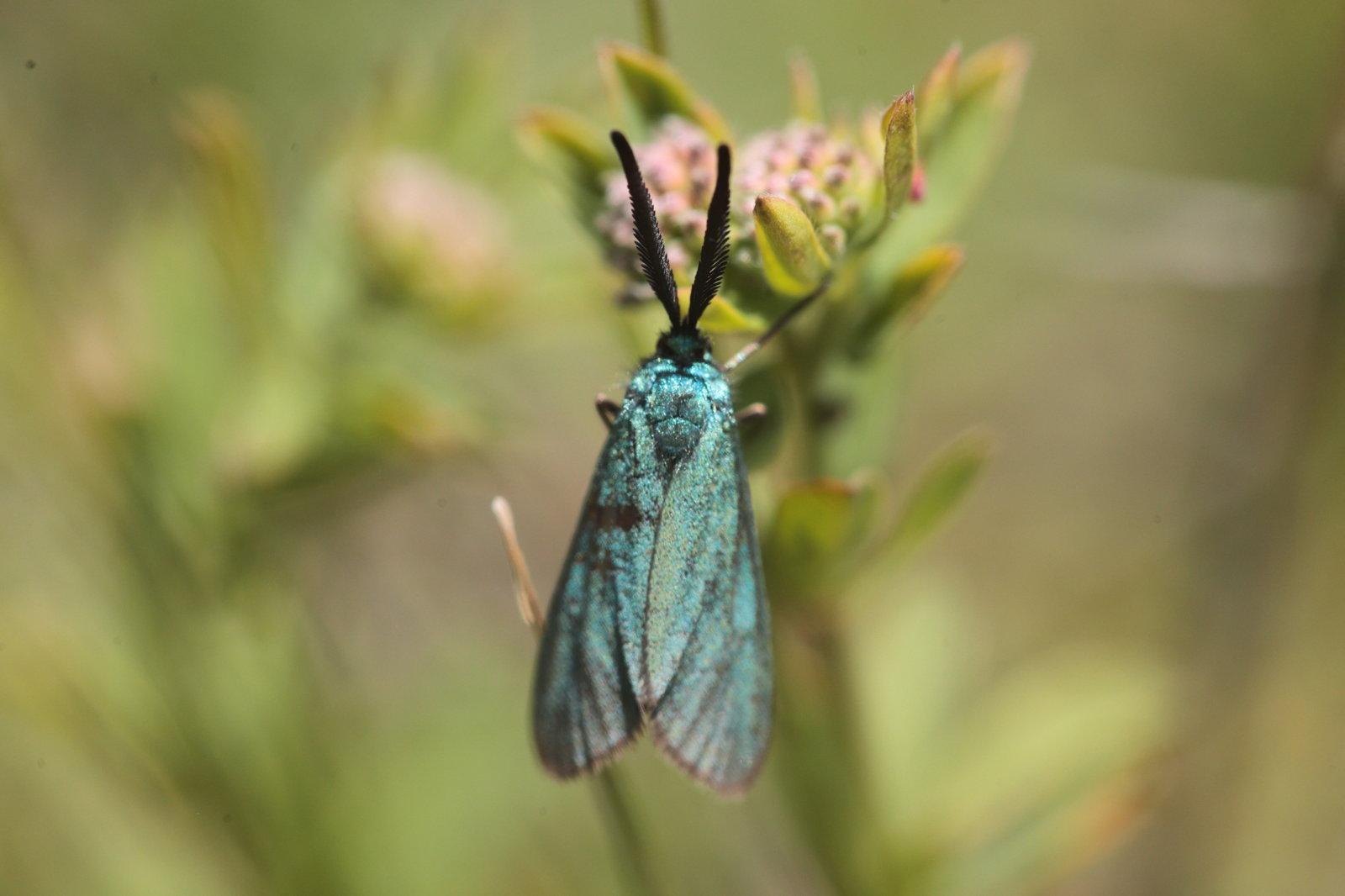 Adscita sp La Zygène turquoise 2