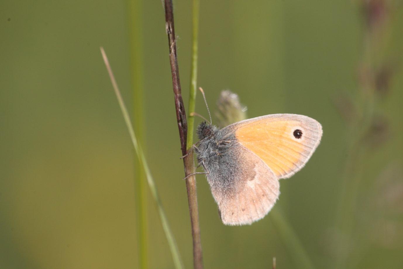 Coenonympha pamphilus Le Procris
