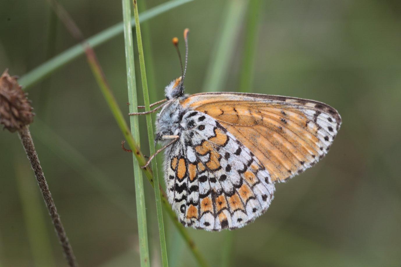 Melitaea didyma Mélitée orangée 5