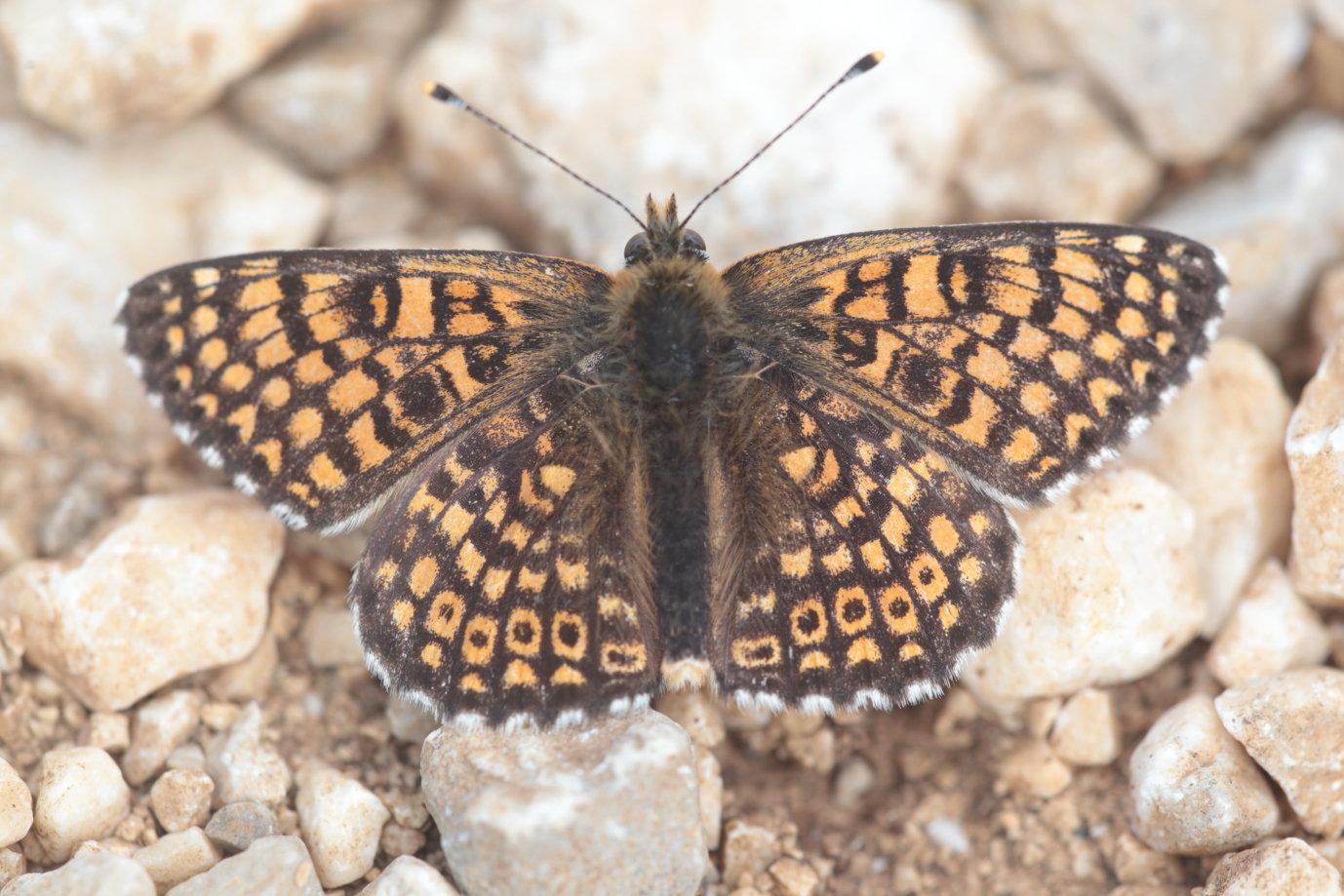 Melitaea cinxia La Mélitée du plantain 1