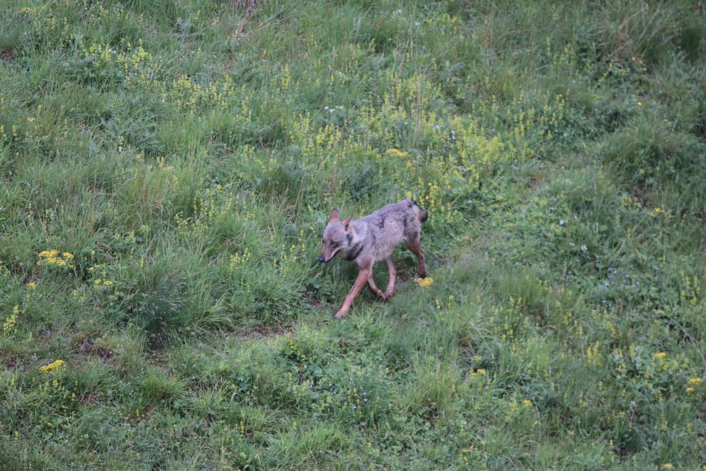 Canis lupus Loup gris 2