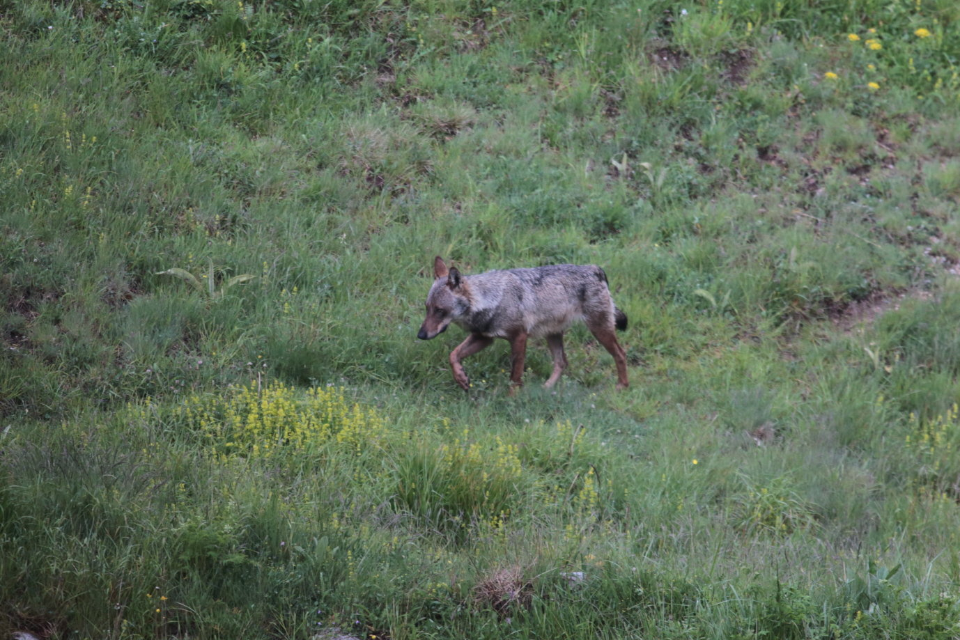 Canis lupus Loup gris 5