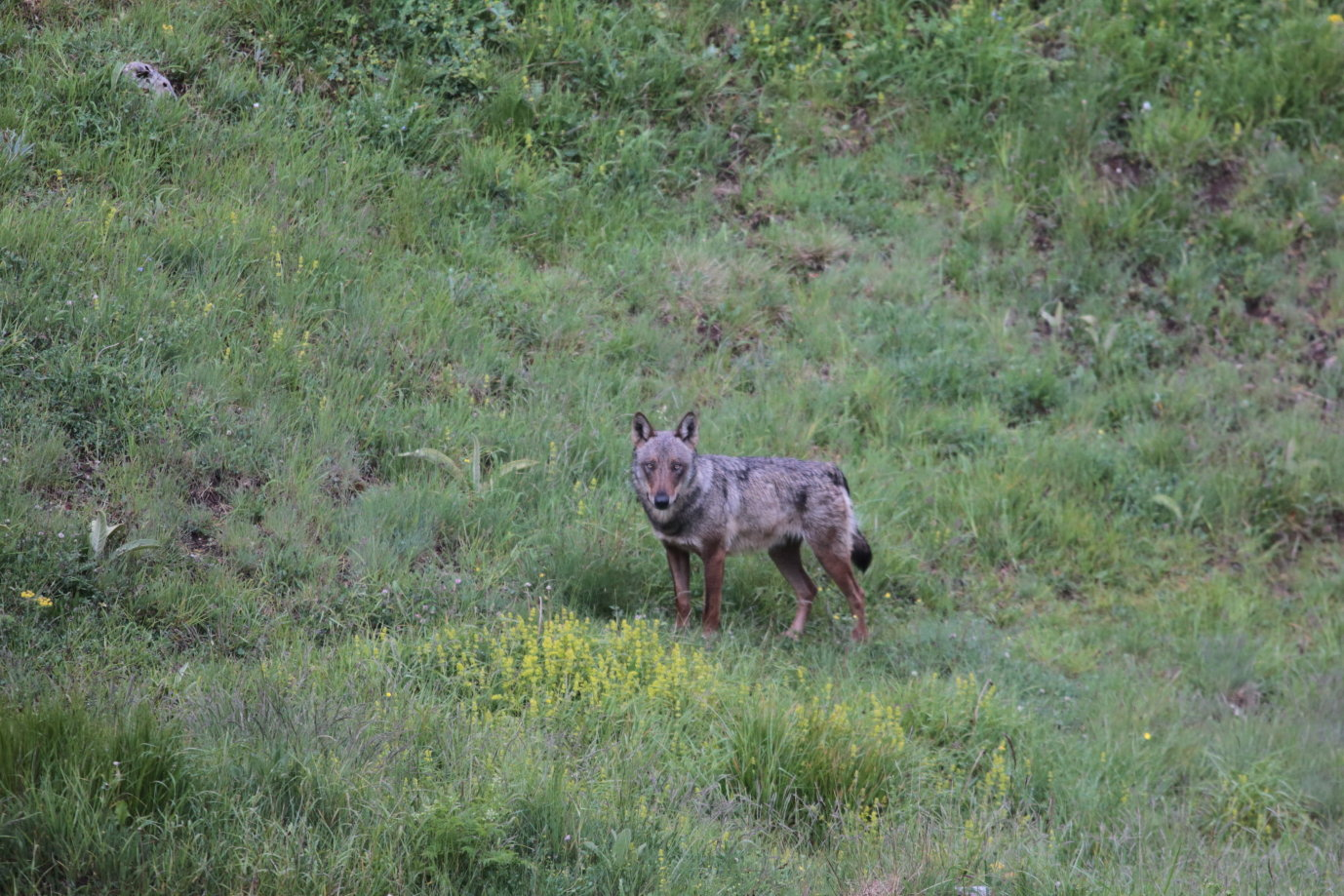 Canis lupus Loup gris 7