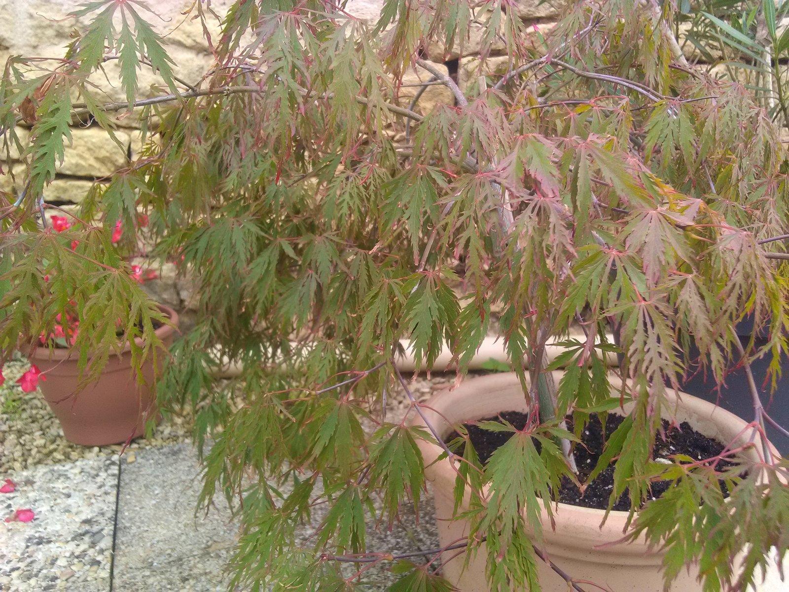 Acer palmatum dissectum garnet 200816022523189035