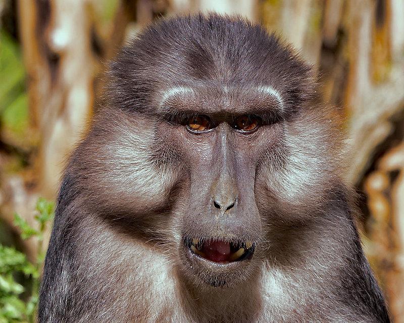 Macaques de Tonkéan 200827085027222710