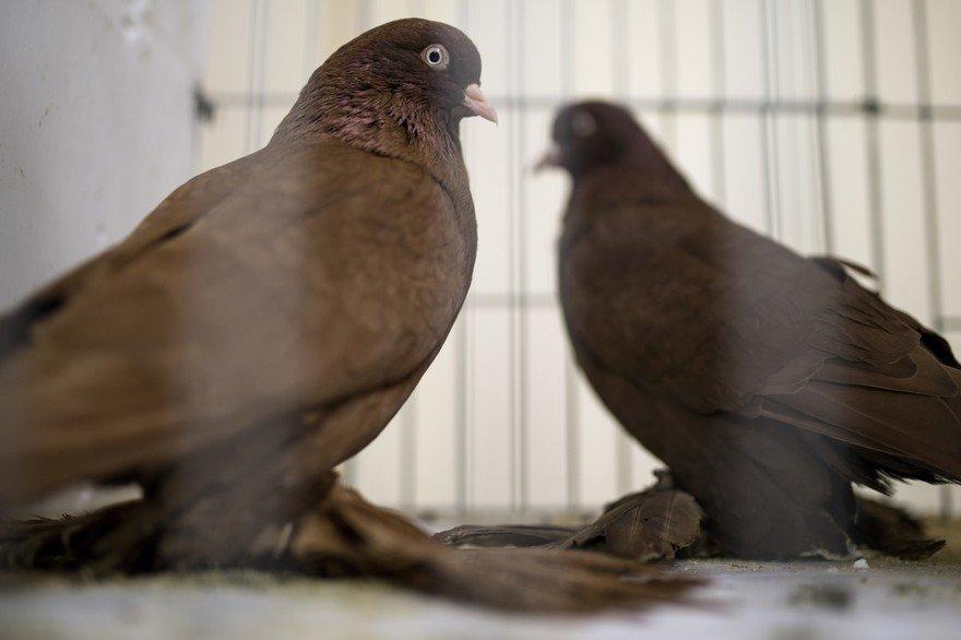 pigeons-de-course-en-angleterre-illustration