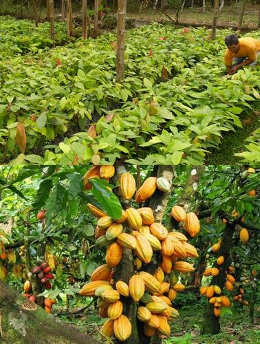 cacaoyers d'une exploitation agricole encolanaltèque