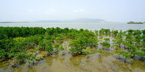 mangroves vs tsunamis