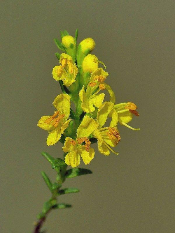 Euphraise jaune (308d)