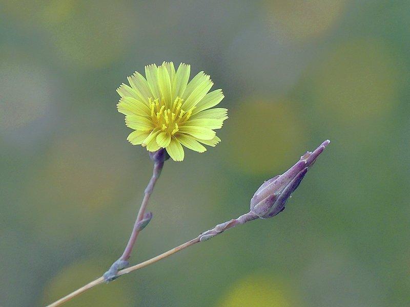 Laitue scariole (20)