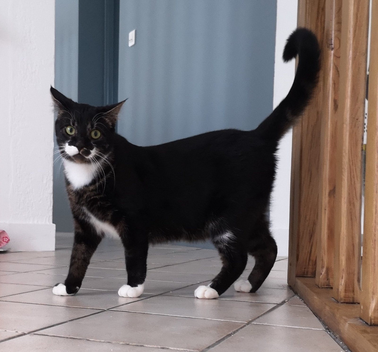 WARRIOR, junior tabby noir et blanc de 7 mois - Marrainé par Ana 210326100934111282
