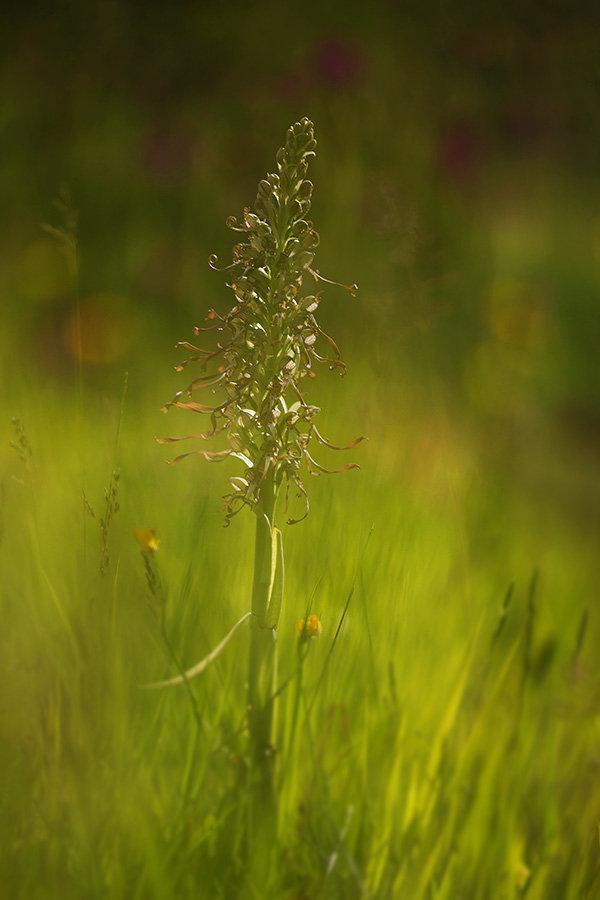 Orchis bouc par Jamus