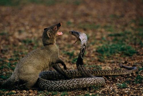 Mangouste et serpent, un combat mortel.