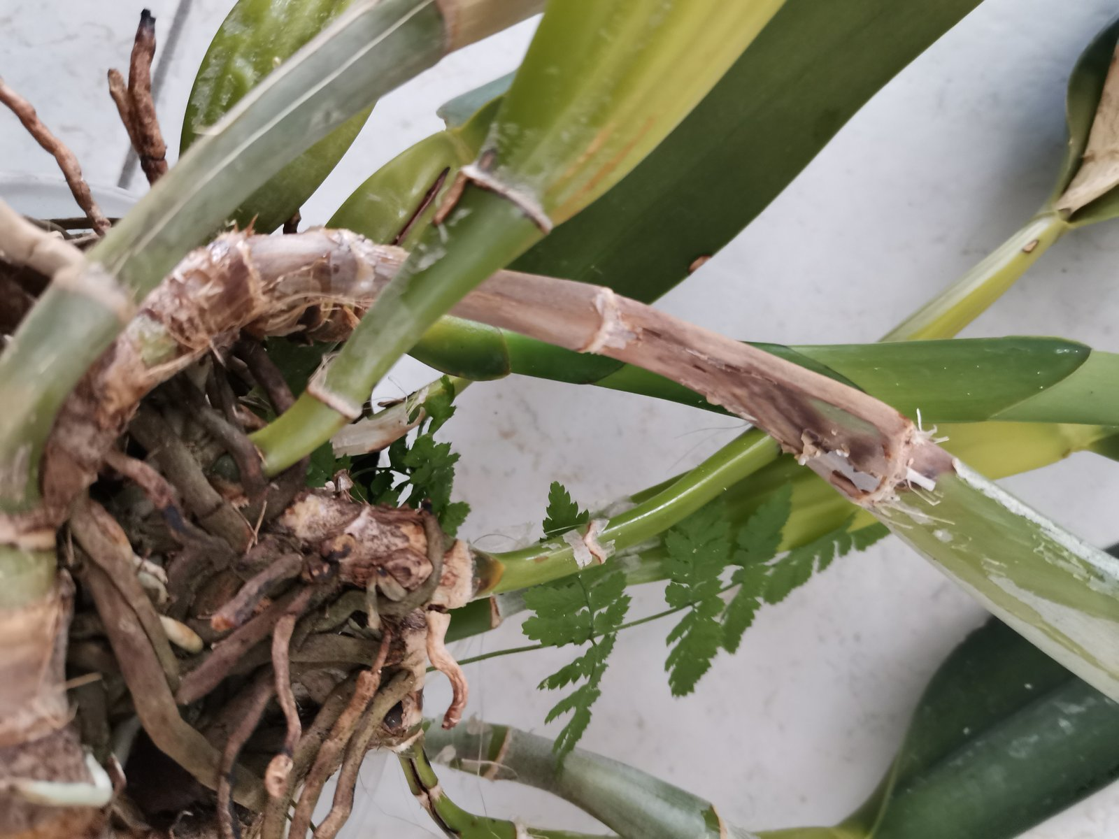 Problème sur Cattleya maladie demande d'identification et solution. 210913053419557947